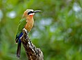 White-fronted Bee-eater (Merops bullockoides) (13584629023).jpg