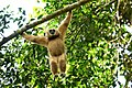 White-handed Gibbon, Hylobates lar in Kaeng Krachan national park (23486627646).jpg