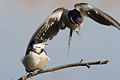 White-throated Swallow, Hirundo albigularis at Marievale Nature Reserve, Gauteng, South Africa (9700140937).jpg