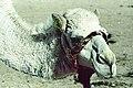 White Camel by Nestor John Sander 10 49.jpg