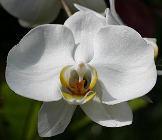 Nero Wolfe - Phalaenopsis hybrid