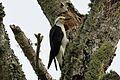 White Woodpecker - Flickr - GregTheBusker (2).jpg