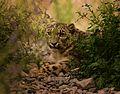 White leopard.jpg