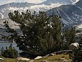 Whitebark pine Pinus albicaulis 20-Lakes.jpg