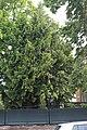 Wiener Naturdenkmal 750 Riesenlebensbaum (2).JPG