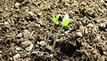 Wikibooks planting-tomato sprout.JPG