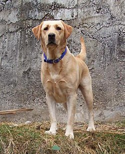 Seekor Labrador Retriever.