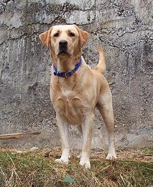 Labradorský retrívr - žlutý