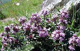 Mateřídouška obecná (Thymus serpyllum L.)