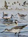 Wilsons Phalarope From The Crossley ID Guide Eastern Birds.jpg