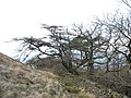 Wind deformed trees at the upper edge of the Cwm-gwared Plantation - geograph.org.uk - 347408.jpg