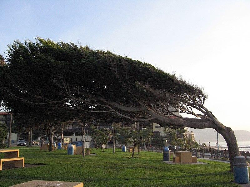 File:Windswept tree - Redondo.jpg