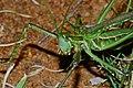 Winged Predatory Katydid (Clonia wahlbergi) (7006442359).jpg