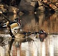 Wood Ducks (4395631391).jpg