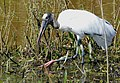 Wood Stork (Mycteria americana) - 48235917906.jpg
