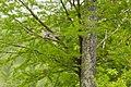 Wood duck (26716381981).jpg