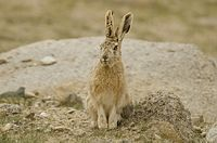 Woolly Hare at Polakongka La, Ladakh, India.jpg