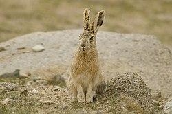 Woolly Hare at Polakongka La, Ladakh, India.jpg