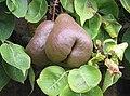 Worcester Black Pears - geograph.org.uk - 541843.jpg