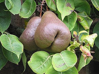 Black Worcester pear - 'Worcester Black' Pears at Westbury Court Garden. The dull, purple-like skin gives the fruit a black appearance and hence the name