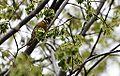 Worm-eating Warbler (13984756733).jpg
