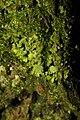 Xanthoria parietina 107455218.jpg