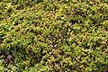 Yaiza Puerto Calero - Calle Alegranza - Aptenia cordifolia 03 ies.jpg