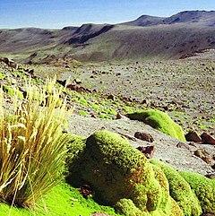 Yareta Peru.jpg