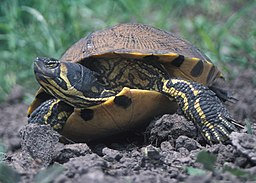 Yellow-bellied Slider 2