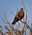 Yellow-billed Hawk, Madagascar (21557855622).jpg
