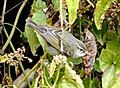 Yellow-browed Leaf-warbler Phylloscopus inornatus by Dr. Raju Kasambe DSC 1939 (4).jpg