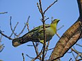 Yellow-footed green pigeon 02.jpg