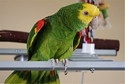 Yellow-headed Amazon (Amazona oratrix) pet on perch.jpg
