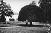Yew tree at Ellinge Castle, Skåne (Scania), Sweden