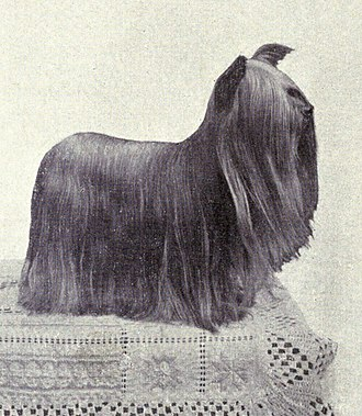 Yorkshire Terrier - Yorkshire Terrier from 1915
