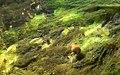Young Aquatic fungus champignonAquatique à lamelles Moyenne-Deûle mai 2015 F.Lamiot 08.jpg
