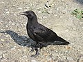 Young bird Carrion crow IMG 0084.jpg