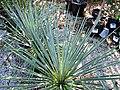 Yucca filamentosa (Adam's needle) 5 (26001349118).jpg