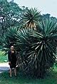 Yucca treculiana fh 1186.8 TX Ilse B.jpg