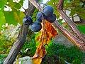 Yurzeni ყურძენი (23167909).jpeg