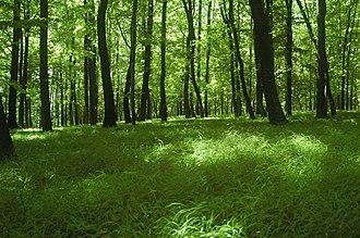 Temperate deciduous forest - Image: Zamcisko les 5