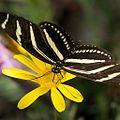 ZebraButterfly.jpg