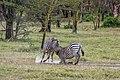 Zebra (Equus quagga) females 2.jpg
