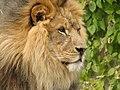ZooAfricanLion.jpg