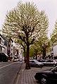Zottegem Heldenlaan Gekandelaarde platanen (5) - 190546 - onroerenderfgoed.jpg