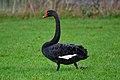 Zwarte zwaan Cygnus atratus Ben Jurgens.jpg