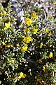 Zygophyllum spinosum = Roepera spinosa (Zygophyllaceae) (37468785332).jpg