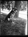 """Alex,"" prize German police dog and pet of Miss Ailsa Mellon, daughter of Treas. smokes cigarettes n'everything. Alex's father is the $12,000 prize police dog ""Wolfe"" LCCN2016893568.tif"