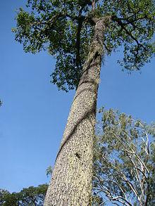 Bertholletia Excelsa Wikipedia La Enciclopedia Libre