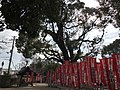 """Meotogusu"" Camphor Tree in Sumiyoshi Grand Shrine.jpg"